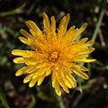 Early dandelion